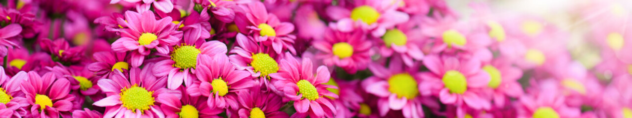 Purple and yellow flowers bunch. Bouquets of blossom rainbow Chrysanthemum floral. Violet colored daisy flower with sun light in background.