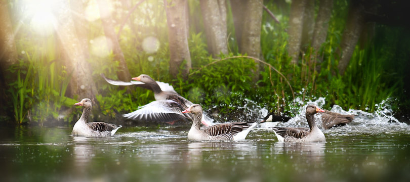 Greylag goose group (anser anser) in beautiful water pond. Grey geese photo.