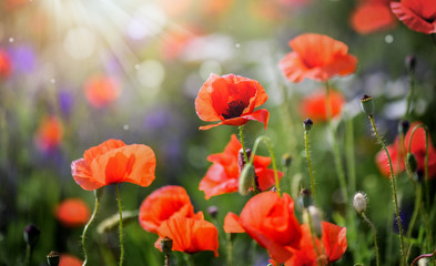 Beautiful field of wild red poppies in evening sunset. Blooming red poppy flower detail in spring and backlight. Blurred sun rays and bokeh behind flowers.