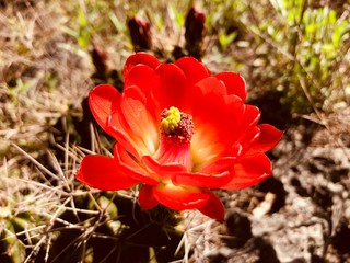 Wall Mural - Claret cup cactus flower