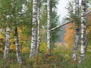Sturmschaden - Birkenwald mit geknicktem Baum