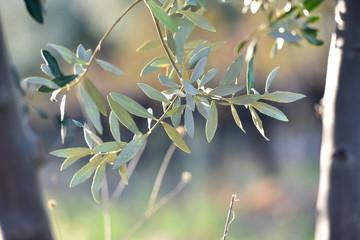 Autocollant pour porte Oliviers feuilles d'olivier