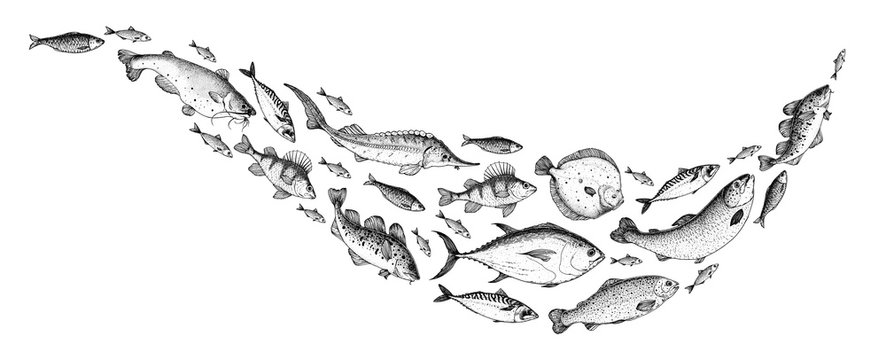 Fish sketch collection. Hand drawn vector illustration. School of fish vector illustration. Food menu illustration. Hand drawn fish set. Engraved style. Sea and river fish
