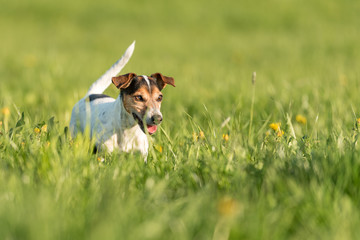 Funny Jack Russell Terrier dog run in a green blooming meadow