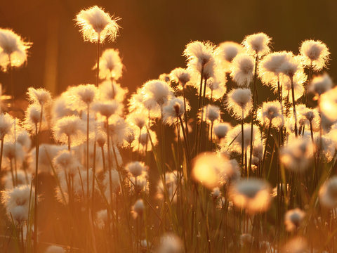 Cotton grass in the rays of the rising sun. Nature background
