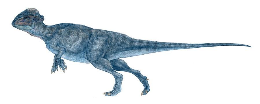 ステゴケラス 白亜紀後期の小型の恐竜。堅頭類でドーム状の厚い頭骨を持つパキケファロサウルスの仲間。全長は2~3メートルと小型で鼻面が小さく、前足は小さく、完全な二足歩行。尾は太く、その後ろ半分は硬直しており、曲がらない。尾の付け根の骨には空洞があるが、その役割はわかっていない。