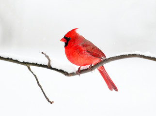 male red cardinal standing on tree branch after snow
