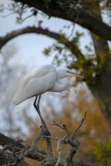 Great Egret (Ardea alba), Florida, USA