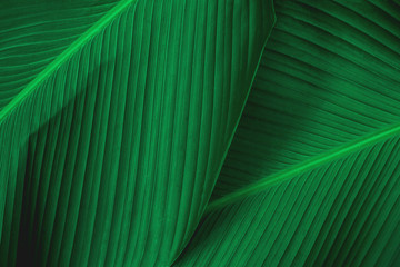 Wall Murals Macro photography abstract green leaf texture, nature background, tropical leaf