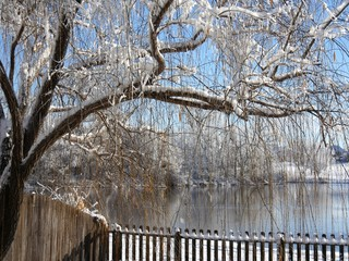 Beautiful curtains of willow twigs covered with ice and snow, hanging over a wooden fence by the pond