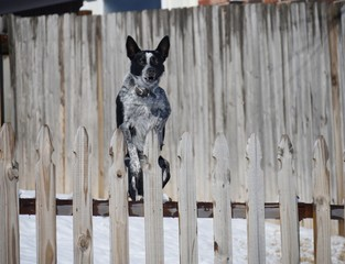 Close up of a dog jumping furiously up on the fence with snow on the ground