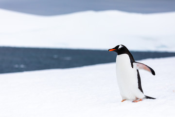 Fotobehang Pinguin Gentoo penguin in the ice and snow of Antarctica