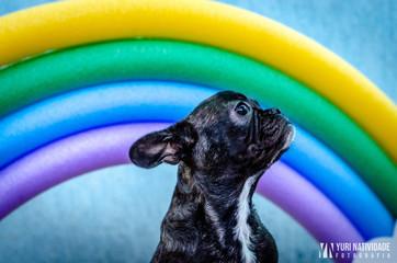 Cachorro Cão Bulldog francês Buldogue francês