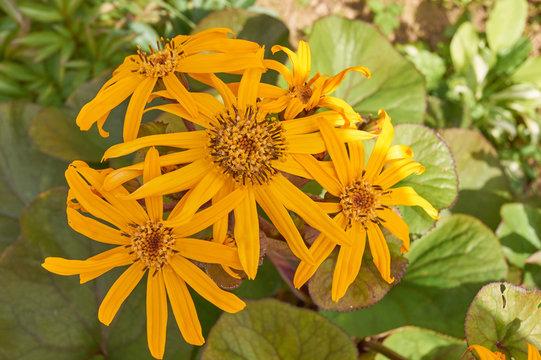 Ligularia dentata. Bright yellow flowers in the garden