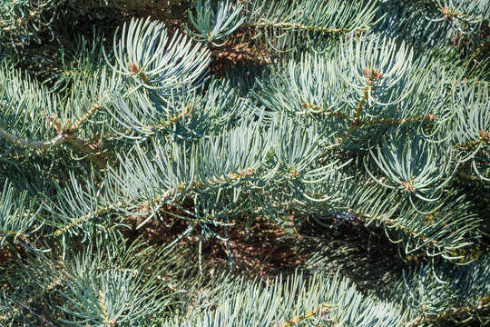 Background of branches of the white fir close-up