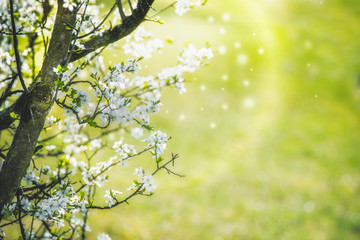 White spring blossom of cherry with flying petals and bokeh at grass green background. Springtime nature concept