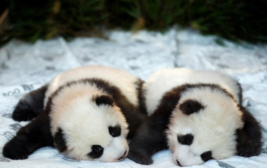 Berlin Zoo announces names for the panda cubs
