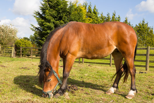 Bay pony with overgrown sore feet stands uncomfortably on grass