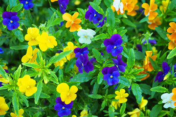 Heartsease. Beautiful colorful pansies in the garden. Vivid pansy flowers at the spring flowerbed