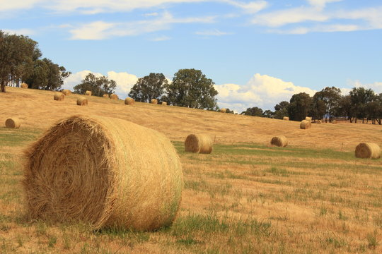 golden brown hay bails on the farm landscape