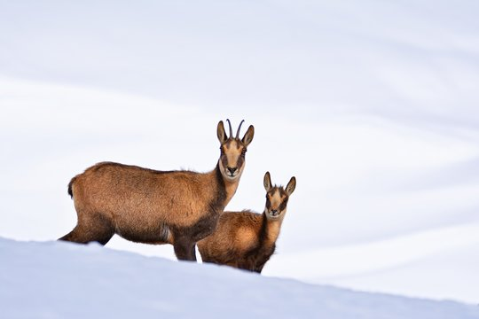 Chamois in the snow on the peaks of the National Park Picos de Europa in Spain.