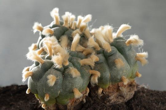 Old, rare and big three headed lophophora williamsii, Peyote