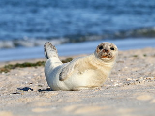 Seehund am Nordseestrand
