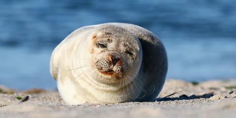 Seehund, Nordsee