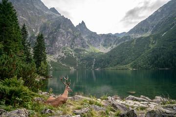 Beautiful deer at Morskie Oko
