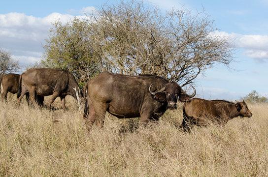 Buffle d'Afrique, Syncerus caffer, Parc national Kruger, Afrique du Sud