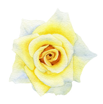 Picturesque full-blown yellow rose flower hand drawn in watercolor isolated on a white background. Botanical illustration. Watercolor floral illustration.