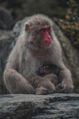 Vertical picture of a grey Japanese macaque with a red face holding its baby surrounded by stones