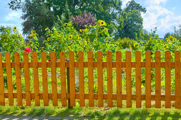Colored garden fence with beautiful sunflowers
