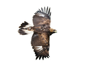 Poster Eagle Side view of golden eagle, aquila chrysaetos, flying with wings spreading wide isolated on white background. Wild bird of prey in flight cut out. Fast animal moving.