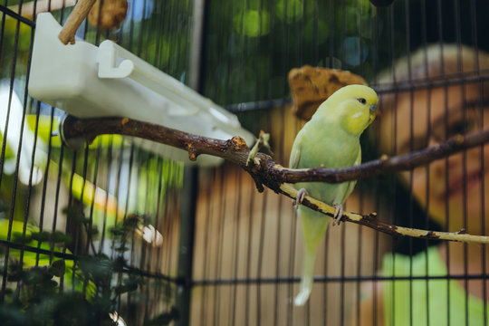 Boy watching budgie sitting in a cage on a twig