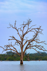 Dead Tree in Udawalawe Reservoir, Udawalawe National Park, Sri Lanka