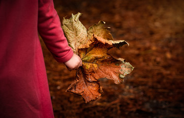 Child holds giant fall autumn leaf in hand close-up