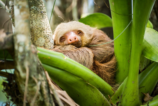 Hoffmann's two-toed sloth (Choloepus hoffmanni), La Fortuna, Arenal National Park