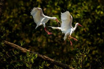 American White Ibis (Eudocimus albus), Tarcoles River, Carara National Park, Puntarenas Province