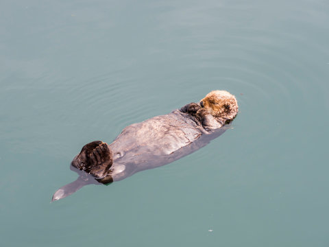 An adult sea otter (Enhydra lutris) resting on its back in the harbor at Kodiak, Kodiak Island, Alaska