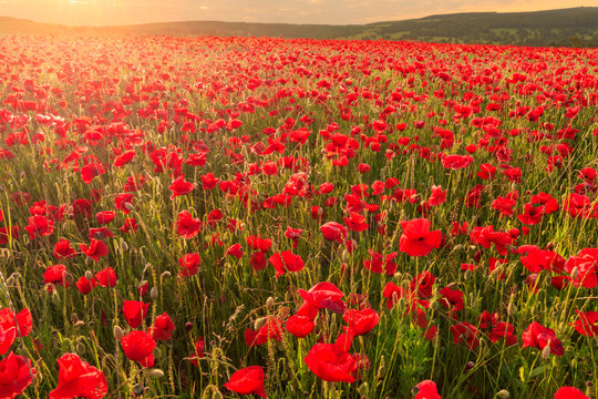 Red poppies, backlit field at sunrise, beautiful wild flowers, Peak District National Park, Baslow, Derbyshire