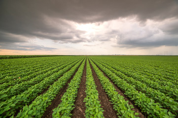 Soybean field ripening at spring season, agricultural landscape Fotomurales