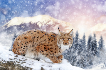 In de dag Lynx Lynx in a snow on winter background