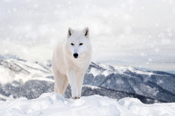 Wall Mural - Wolf in a snow on winter background