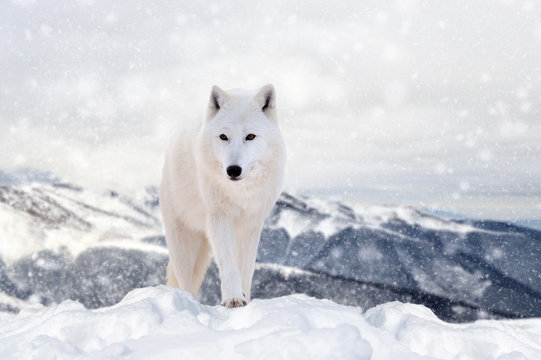 Wolf in a snow on winter background