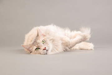 Portrait of Maine Coon cat lying on gray background
