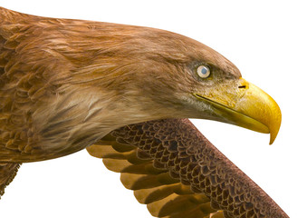 Fototapete - deepsea eagle looking down on white background close up