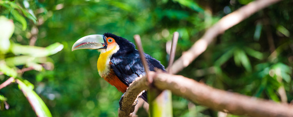 Deurstickers Toekan Toucan sits on a branch, Brasil Foz do Iguazu. With selective focus.