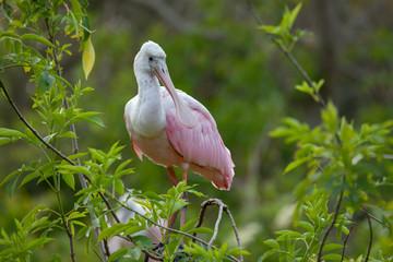 Roseate Spoonbill (Platalea ajaja), Florida, USA