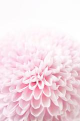 Poster Bloemen feminine floral background of pink chrysanthemums